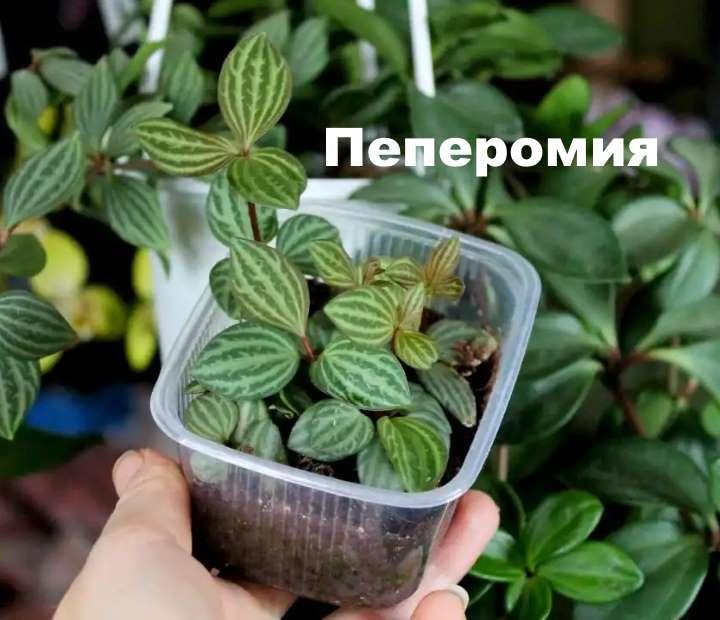 Пеперомия — уход в домашних условиях, фото и названия видов