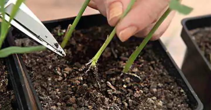 Уход за рассадой гвоздики
