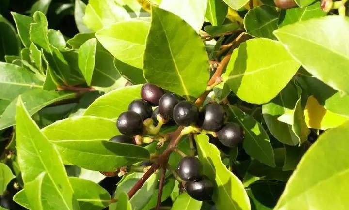 На дереве лавровом плоды