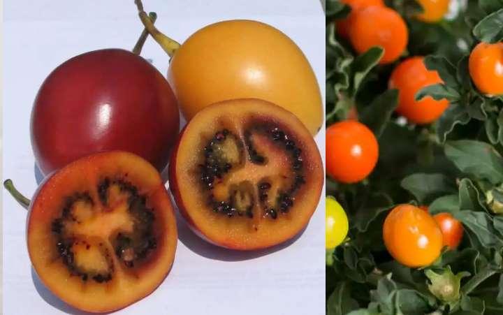 Соланума плоды в разрезе