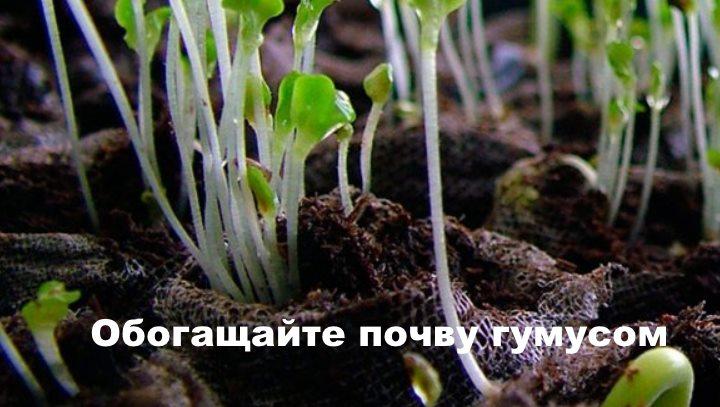 Проросшие ростки наперстянки