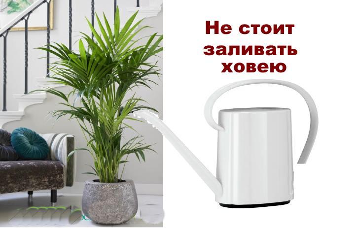 Как поливать пальму