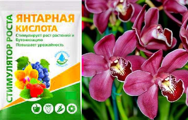 Орхидея и янтарная кислота