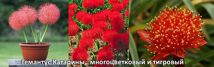 Гемантус Катарины, многоцветковый и тигровый