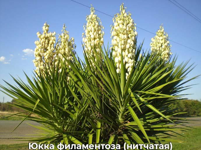 Юкка филаментоза (нитчатая)