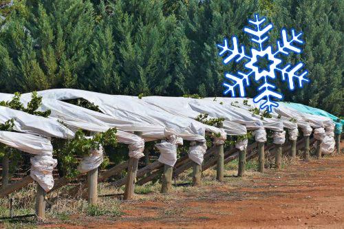 Укрытиый виногрда на зиму