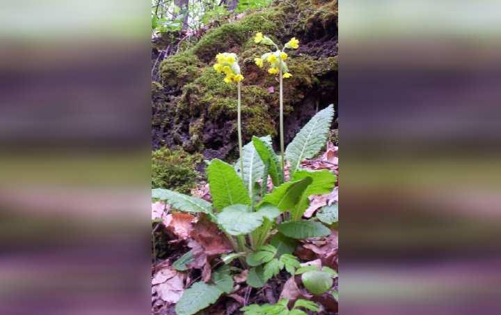 В природе первоцвет весенний