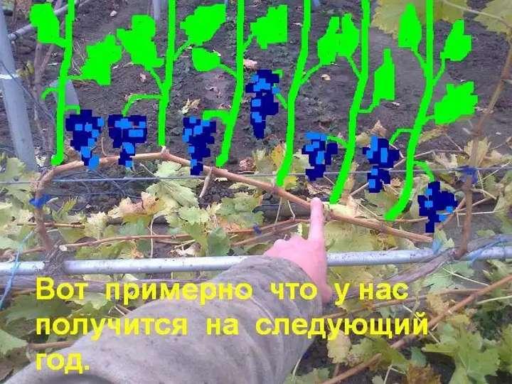Проекция урожайности на куст винограда