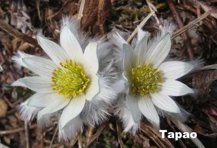 Растение вида - прострел Тарао
