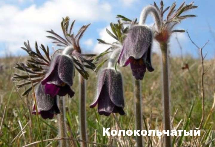 Растение вида - прострел колокольчатый