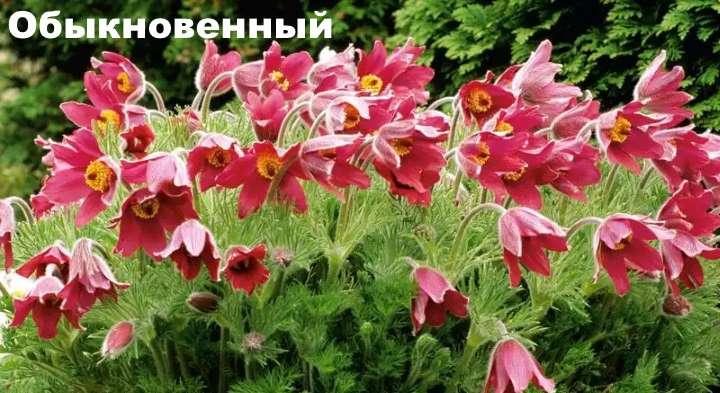 Растение вида - прострел обыкновенный