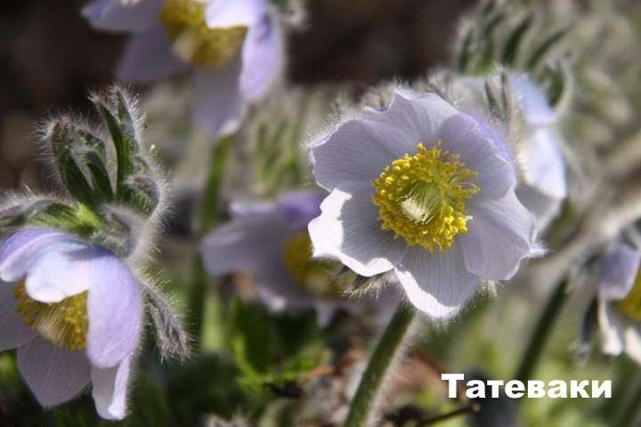 Растение вида - прострел татеваки