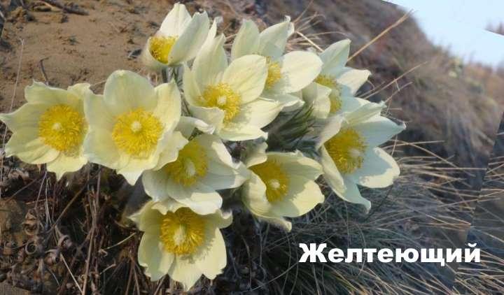 Растение вида - прострел желтеющий