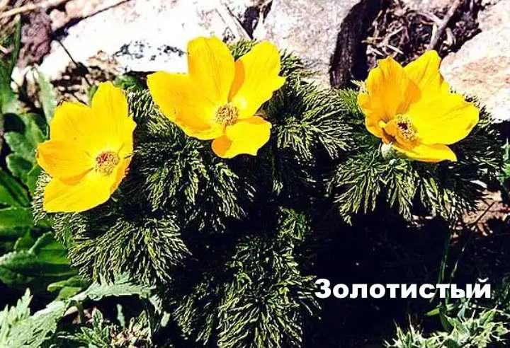 Растение вида - прострел золотистый