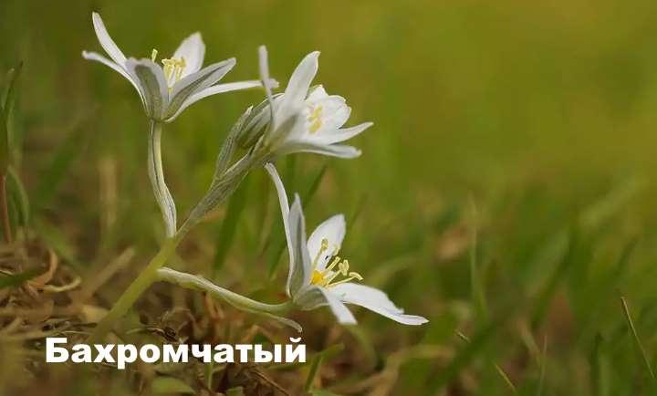 Вид растения - птицемлечник Бахромчатый