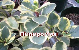 Внешний вид растения пеперомия