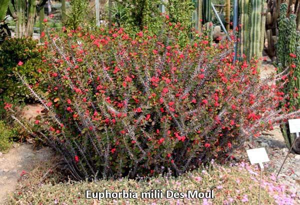 Euphorbia milii Des Moul Кусты молочая Миля