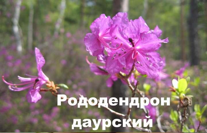 Рододендрон даурский: описание вида, особенности посадки и ухода