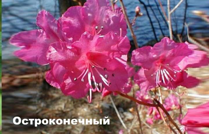 Вид растения - рододендрон остроконечный