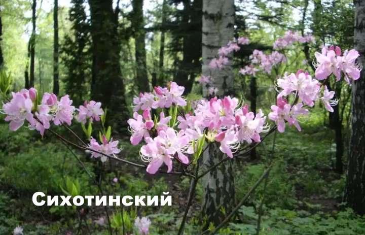 Вид растения - рододендрон сихотинский