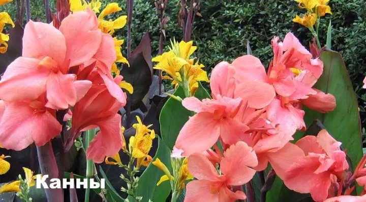 Экзотическое растение - розовые канны