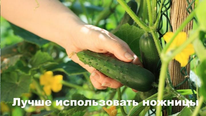 Урожай огурца