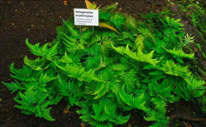Растение Селагинеллла для палюдариума