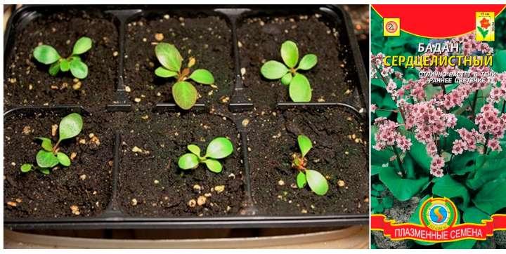 Пакет семян и ростки бадана