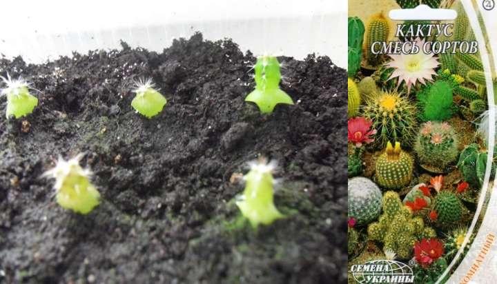 Ростки молоденького кактуса