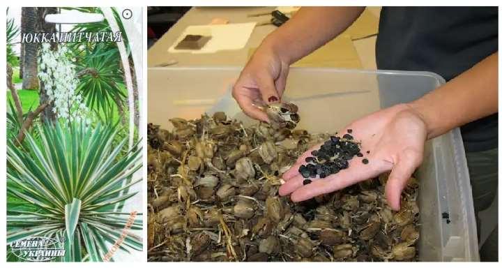 Пакетик семян юкки