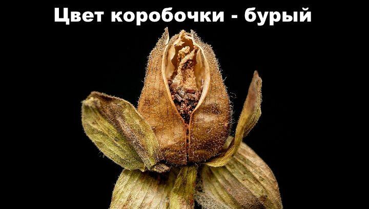 Семена наперстянки
