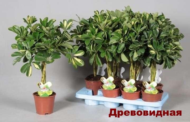 Вид растения - шефлера древовидная