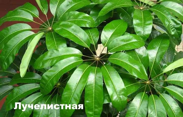 Вид растения - шефлера лучелистная