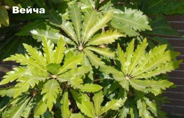 Вид растения - шефлера вейча
