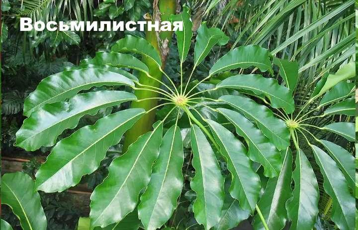 Вид растения - шефлера восьмилистная