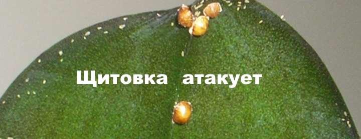 Вредители на листьях орхидеи