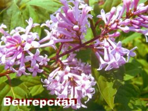 Растение Сирень венгерская