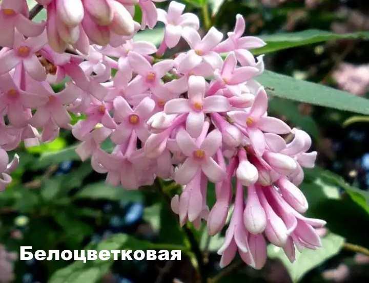 Вид растения - сирень венгерская Белоцветковая
