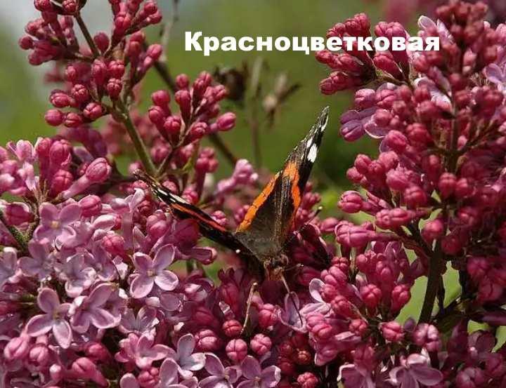 Вид растения - сирень венгерская Красноцветковая