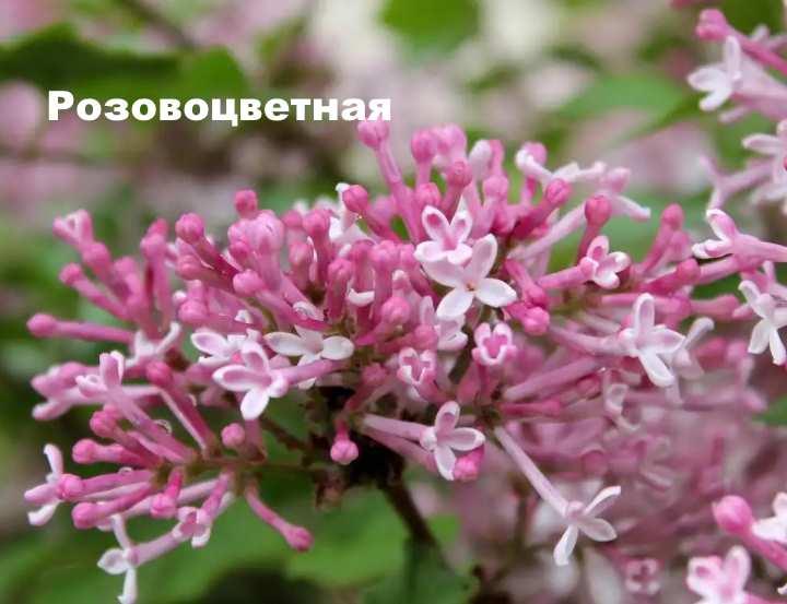 Вид растения - сирень венгерская Розовоцветная