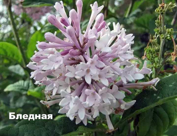 Вид растения - сирень венгерская бледная