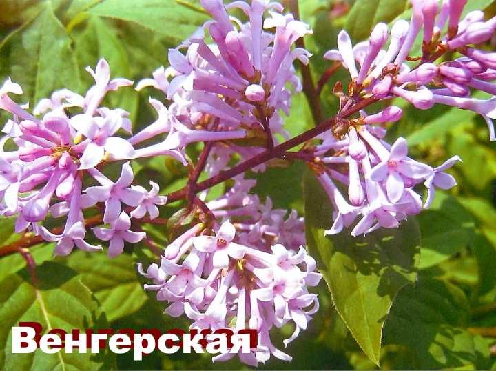 Сирень венгерская описание — Цветы365