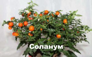 Растение соланум