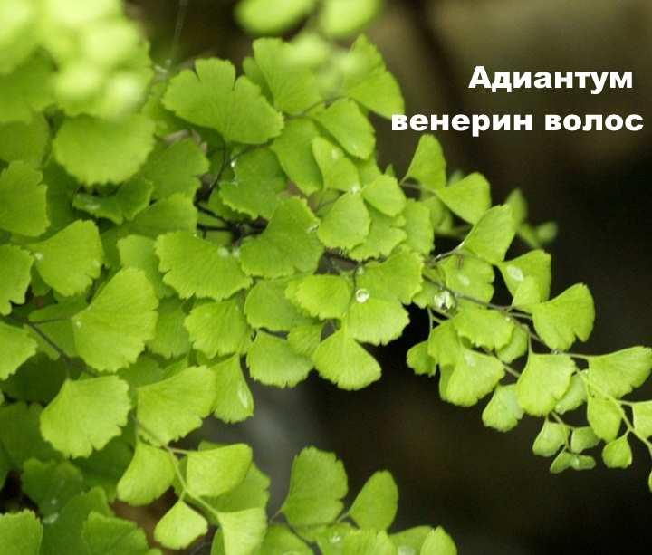 Вид растения - Адиантум венерин волос