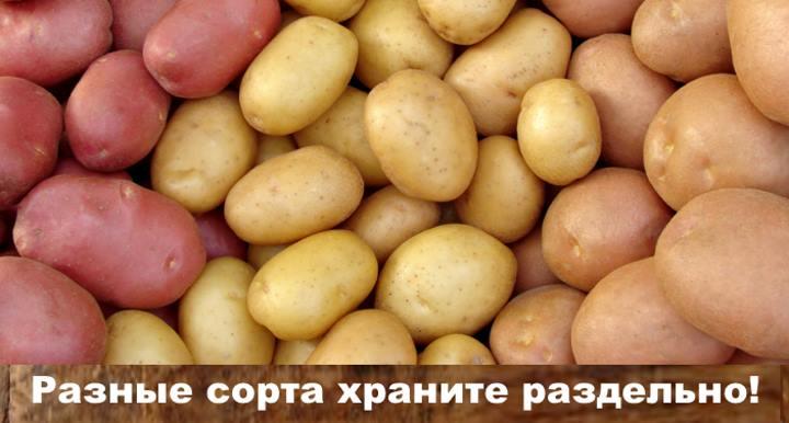 Три разных сорта картофеля