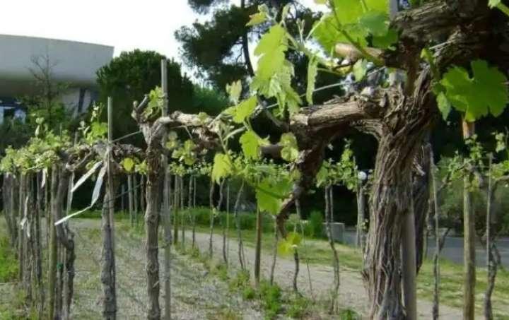 Виноградный кус после обрезки