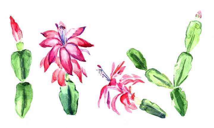 Шлюмбергеры рисунок