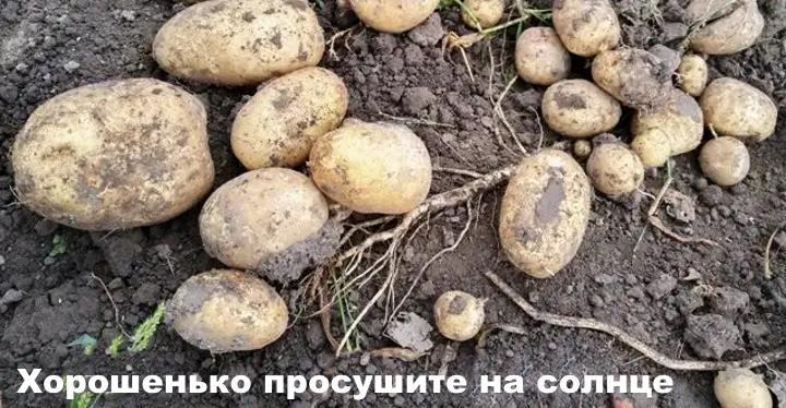 Картофель на солнце