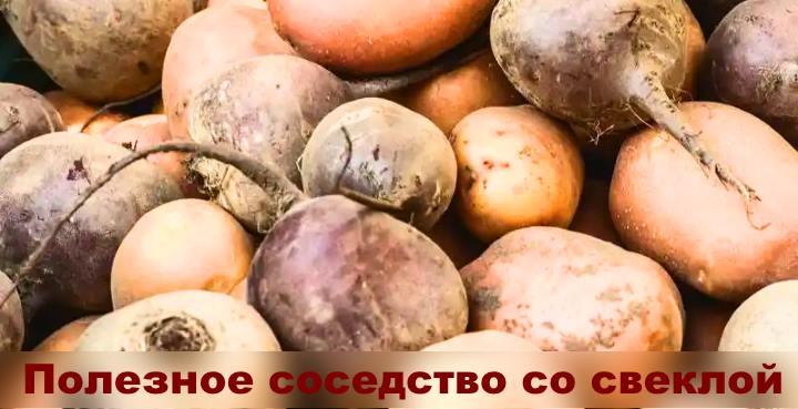 Свекла полезна для картофеля