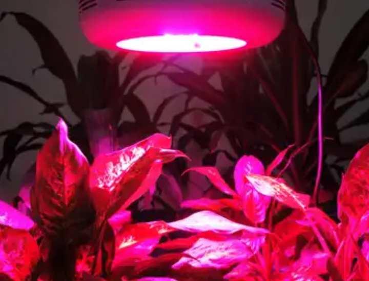 Искусственное освещение антуриумов